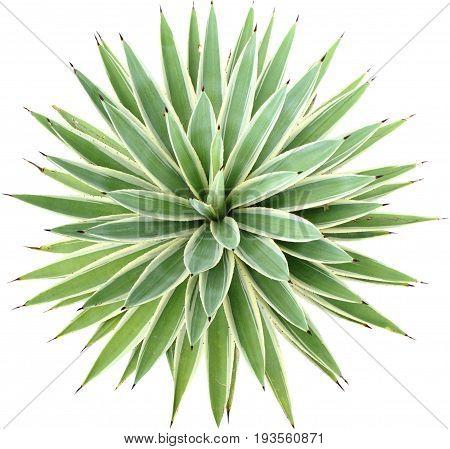 Green Agave angustifolia (Marginata) isolated on white background.