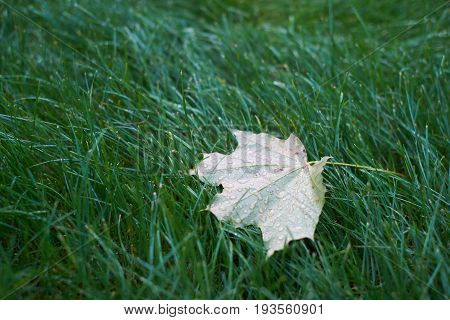 Canadian maple leaf on the grass after rain.