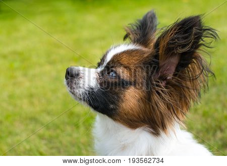 Beautiful young papillon dog outside with green grass in the background
