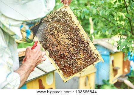 Rearview shot of a senior professional beekeeper working with bees harvesting honey spraying honeycomb.