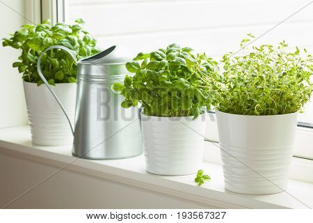 fresh basil and thyme herb in pot on window, watering can