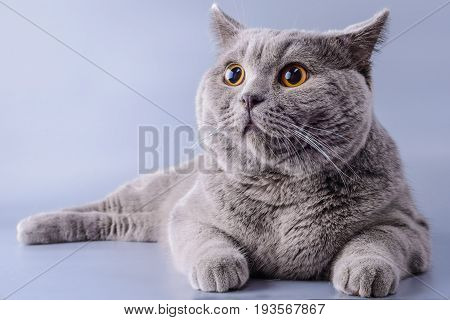 Pretty Grey British Short Hair Cat Lying Down Looking Away Isolated On A Purple Background