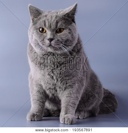 Gray British Cat Half A Year From Birth Sits On A Purple Background