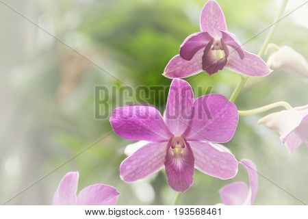 Blurred dream image of pastel purple Dendrobium orchid flower sweet soft focus floral image.