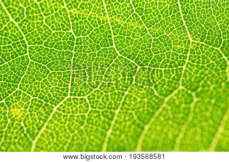 Green Leaf macro. Leaf texture or leaf background for design.