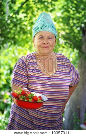 Happy old woman with a strawberry crop in the garden. Beautiful old woman and Strawberry harvest