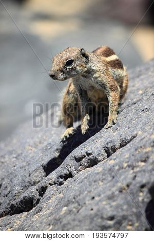 Barbary Ground Squirrel at Fuerteventura. Canary Islands, Spain