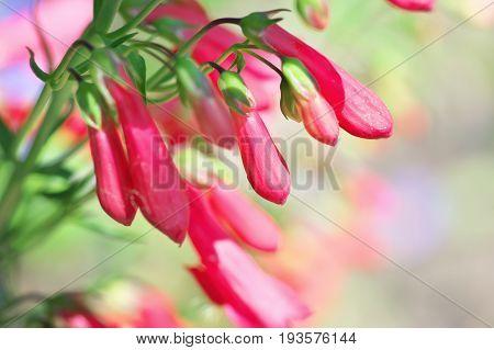 Red flower penstemon close-up. Flower in the garden