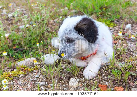 Cute white and black bulgarian shepherd dog puppy looking at the flower