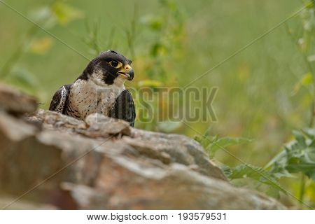 Falcon on the rock. European wildlife in the nature habitat. Czech Republic.