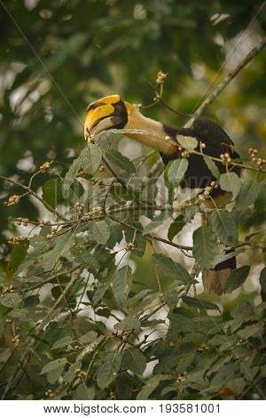 Beautiful endangered great hornbill on a tree in kaziranga india