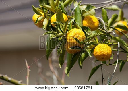 Leech lime or Bergamot fruits hanging on its tree