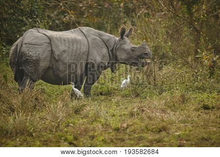 Indian rhinoceros in Asia. Indian rhino or one horned, Rhinoceros unicornis, with green grass in the trunk. Big mammal in the nature habitat, Kaziranga National Park, India. Animal wildlife in Asia