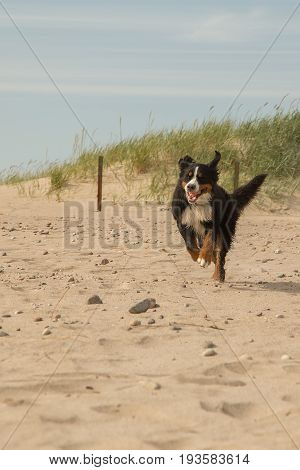 happy bernese mountain dog run on sand dunes