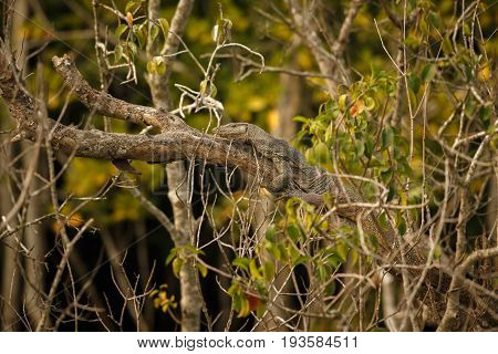 big monitor lizard on a tree in Sundarbans in India/monitor lizard on a tree/Sundarbans tiger reserve in India