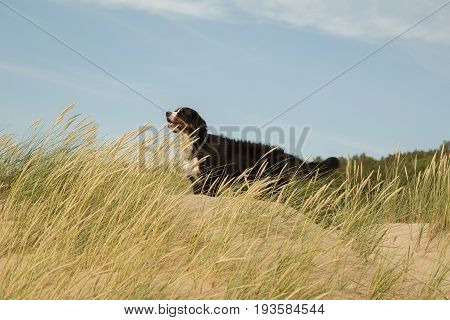 bernese mountain dog in the grass on sand dunes