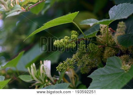 Young grapes with flowers on a grapevine in France.