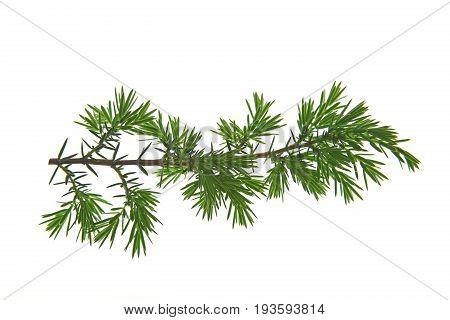 Branch of common juniper or heath juniper (Juniperus communis) isolated against white background