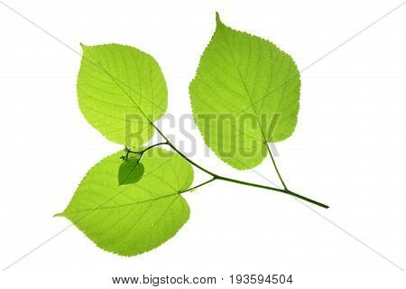 Little twig with linden leaves isolated against white background (Tilia)