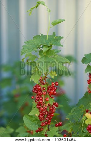 bush and ripe red berries currants near a gray fence. close up shot of berries in focus