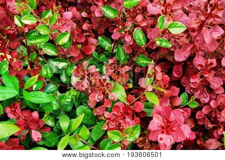 Green and purple foliage botanical background wet round leaves rain drops crimson royal pygmy barberry vibrant colors