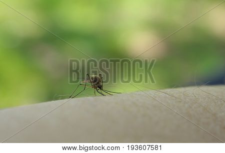 Close up of mosquito sucking blood on human skin Mosquito is carrier of Malaria/ Encephalitis/ Dengue/ Zika virus.