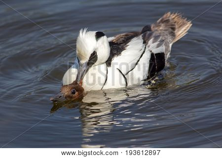 Male and female smew (Mergellus albellus) ducks copulating. Breeding pair of birds on lake. Male smew has hold of female head just above water during sex.