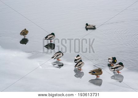 Lonely Duck And A Group Of Ducks On The Ice On The River In Winter
