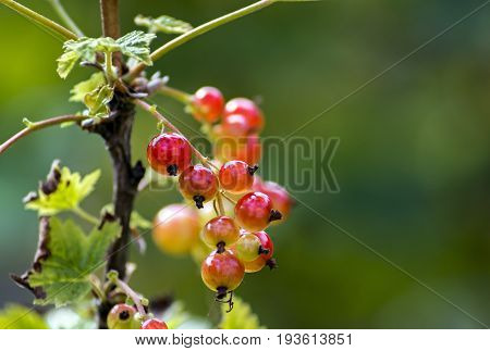 Ripening redcurrant in my summer garden. Selective focus