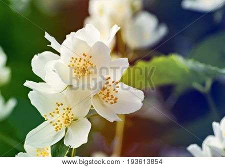 Blossoming flowers of Jasmine tree (Jasminum officinale), summer, Europe. White jasmine tree belongs to the genus Jasminum that numbering around 200 species.