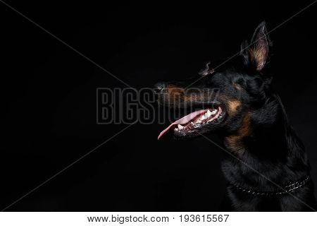 Beauceron Dog Head With Tongue Out, Side View
