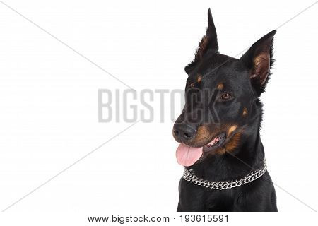 Beauceron Dog Head With Tongue Hanging Out