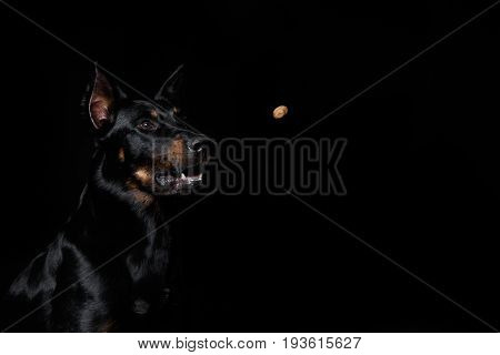 Beauceron dog looking at a flying piece of pedigree black background. French shepherd Berger de Beauce poster