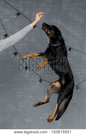 Beauceron In A Jump, French Shepherd Dog Training
