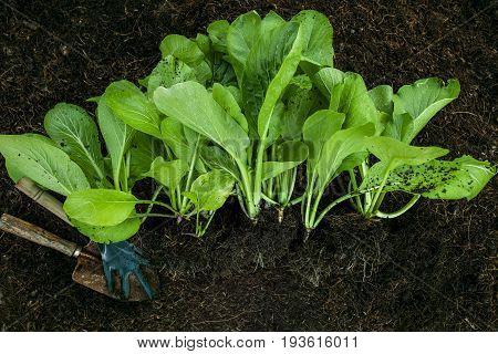 harvesting of organic vegetable in home garden