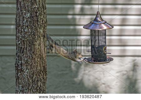 Eastern Fox Squirrel eating seeds from bird feeder