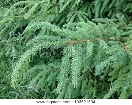 Fresh needle leaves on fir branch at spring close-up background