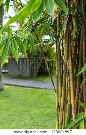 Green Bamboo in nature of Bali island.