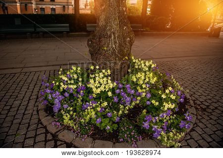 Flower bed of yellow and purple petunias and small red flowers around the tree at sunset in the sun.