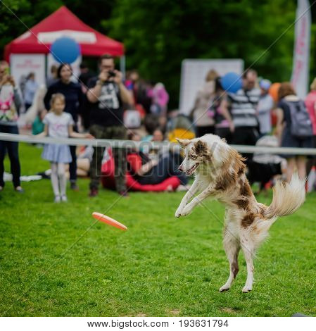 Energetic dog with attentive expressive eyes in summer park during catching a frisbee disc, jump moment. Happiness in motion. Dog sports training, funny show