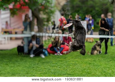 Nimble, funny and gambling dog in the grass at summer park during catching a frisbee disc, jump moment. Happiness in energy and in motion. Dog sports training, funny show