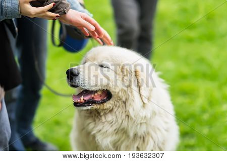 Remarkable fluffy dog with white fur that caress a few hands. She is pleased, happy and smiling. Concept of friendship between man and dog