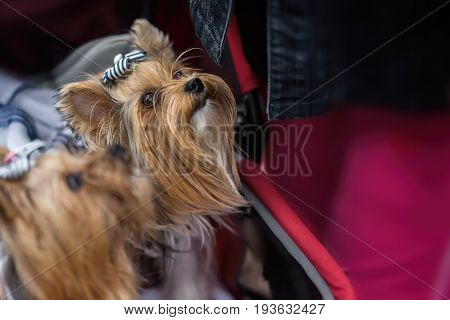 Cute Yorkshire Terriers in red children's stroller. These dogs are for their mistress as his daughters. Concept of friendship between man and dog, selective focus