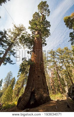 The famous General Grant tree in Sequoia National Park, California, USA