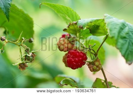 Organic Ripe Red Raspberries On The Bushes, Growing, Garden, Eating. Branch Of Ripening Raspberries