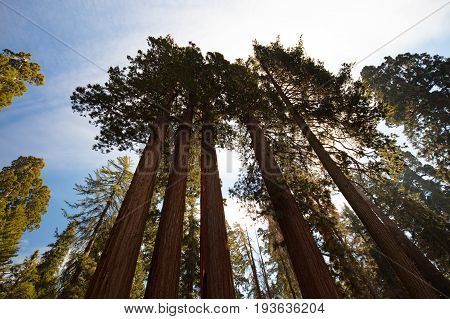 A group of trees near the General Grant tree in Sequoia National Park, California, USA