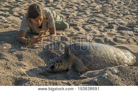 Sea turtle (Caretta) lays eggs on sand beach. Girl is making a photo with help of smartphone.