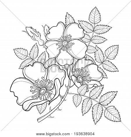 Vector branch with outline Dog rose or Rosa canina, medicinal herb. Flower, bud and leaves isolated on white background. Ornate wild rose in contour style for summer design and coloring book.