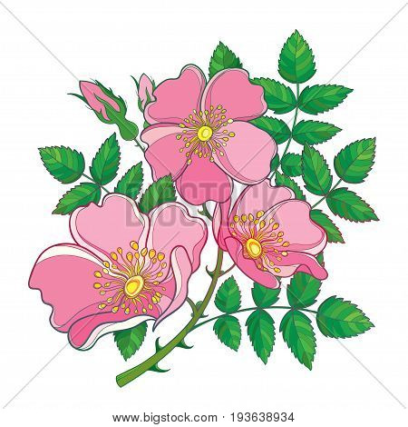 Vector branch with outline Dog rose or Rosa canina, medicinal herb. Pink flower, bud and green leaves isolated on white background. Bunch with ornate wild rose in contour style for summer design.