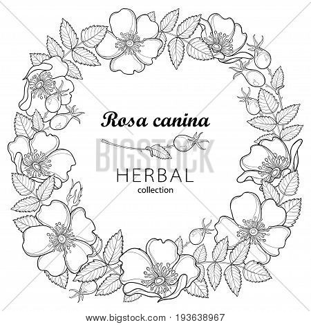 Vector round wreath with outline Dog rose or Rosa canina, medicinal herb. Flower, leaves and hip isolated on white background. Ornate wild rose in contour style for summer design and coloring book.